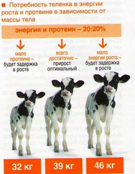 В то же время, для теленка
